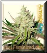 Amnesia automatic flowering Cannabis seeds online